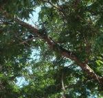 bayi Komodo di atas pohon