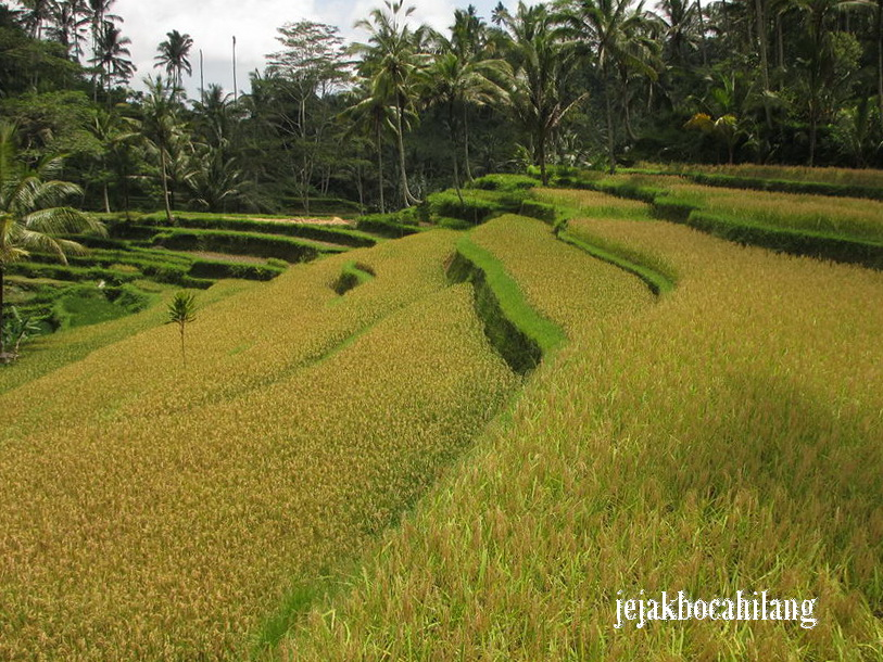sawah di area Gunung Kawi Temple