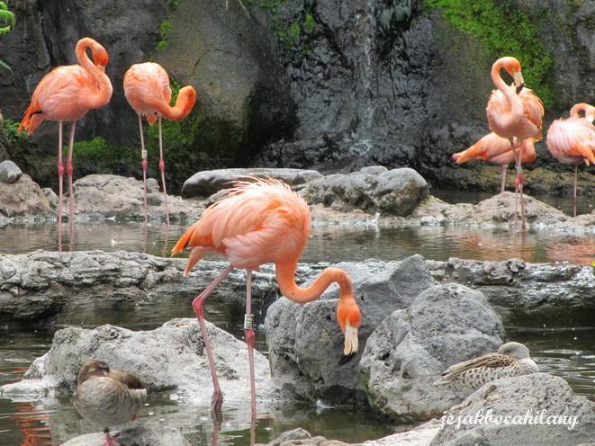 Flamingo asli Kuba