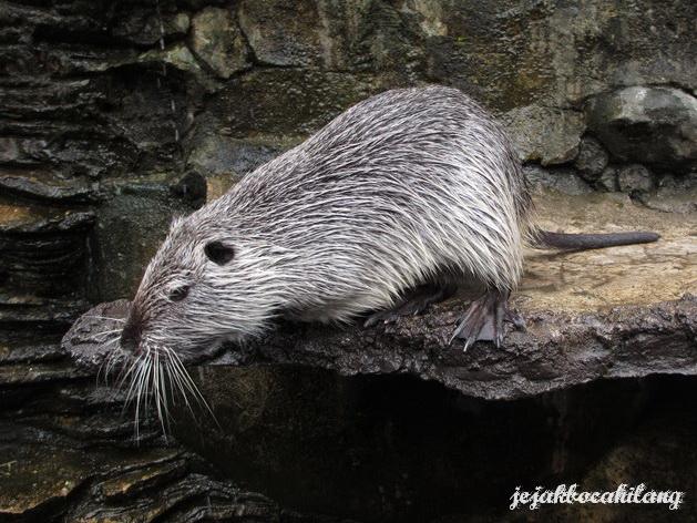 tikus air katanya...