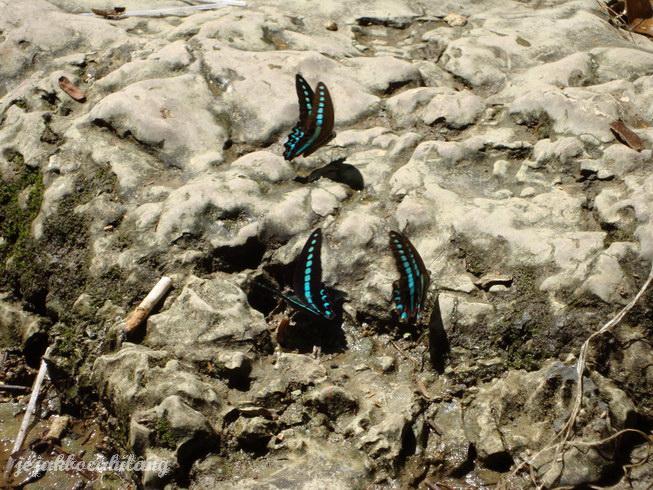kawanan kupu-kupu di kerajaan Bantimurung