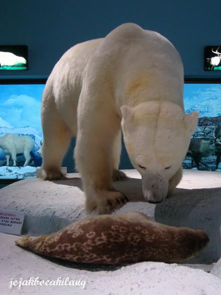 kapan lagi bisa menyaksikan Beruang Kutub