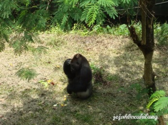 Gorilla di Pusat Primata Schmutzer