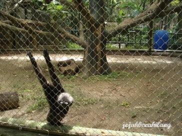 Siamang Pusat Primata Schmutzer
