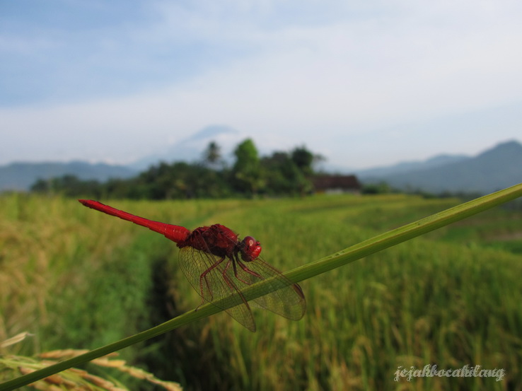red dragonfly with paddy field beyond
