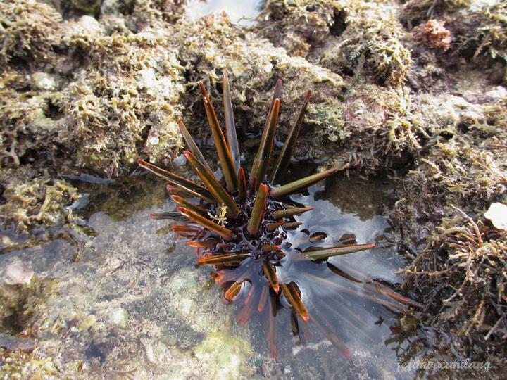 landak laut