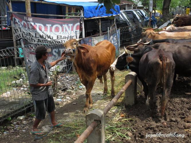 sapi yang tengah ditarik oleh majikan barunya