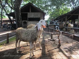 kambing di Pasar Gawok
