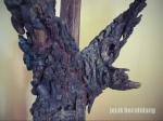 pohon kalpataru