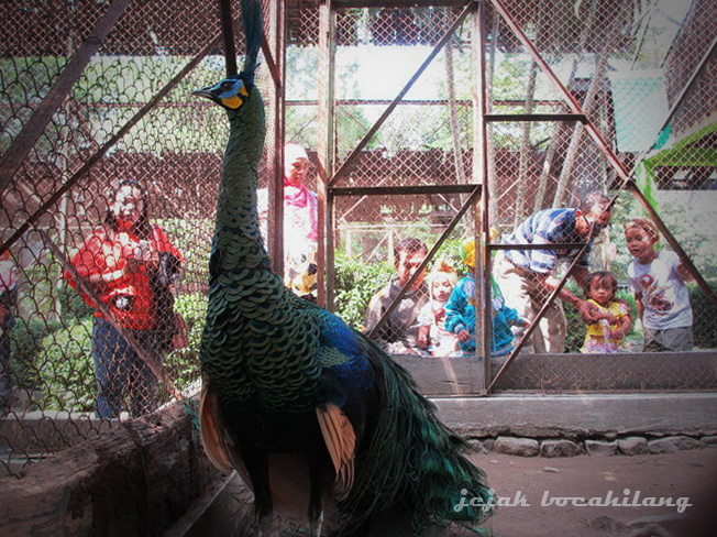 peacock and audience