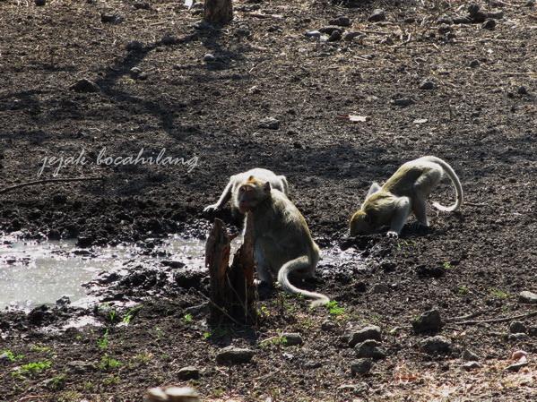 Monyet di halaman gerbang Taman Nasional Baluran