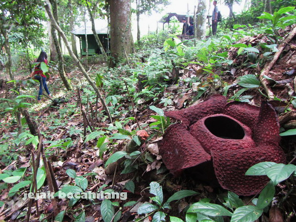 Rafflesia Arnoldi di TNBBS