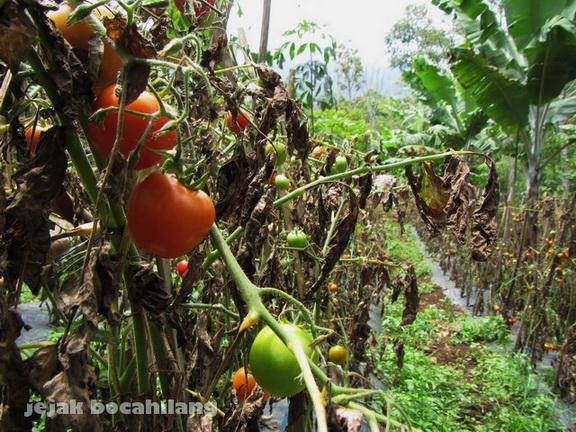tomat Tanggamus