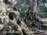 pohon tua di samping Danau Rambut Monte