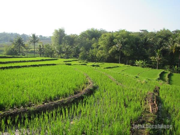 hamparan sawah dan hutan bambu di Simo