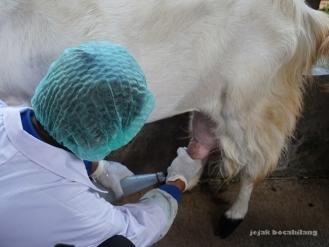 memerah susu kambing Etawa