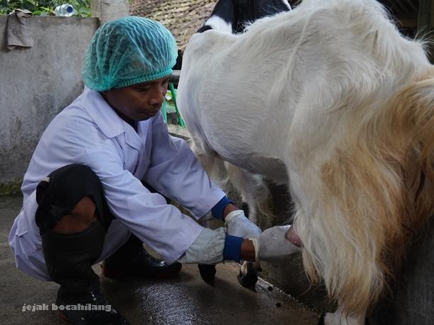 Pak Sutaryono mulai memerah susu kambing Etawa