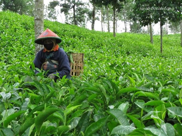 Kebun teh Tambi