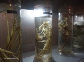 gulma tanaman tebu
