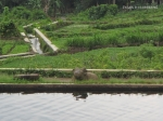 arca Nandi di dekat Candi Pringapus