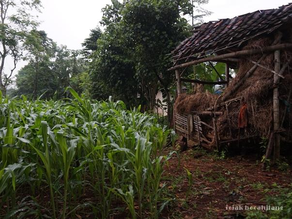 ladang jagung Desa Ketetang