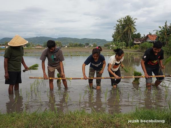 belajar menanam padi di Desa Kebonagung