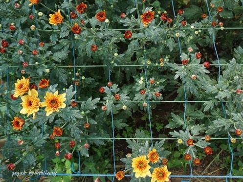 bunga Krisan dua warna