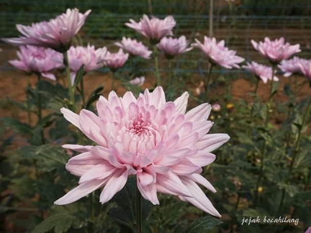 Bunga Krisan Pink