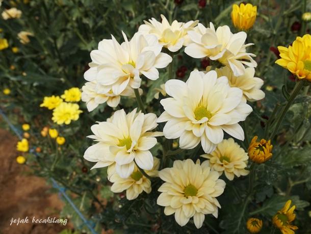 Bunga Seruni warna putih