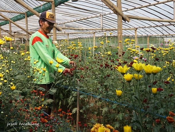 kebun bunga krisan Poncokusumo