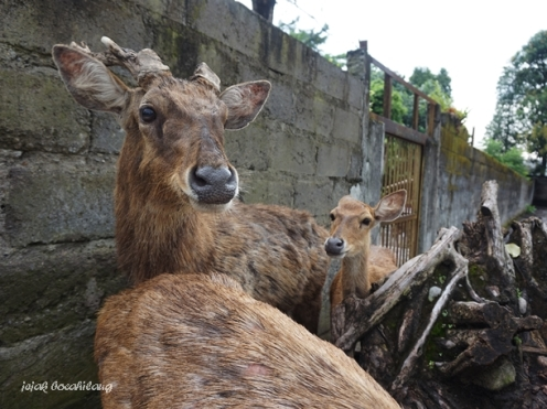 Rusa Timor Gembira Loka Zoo
