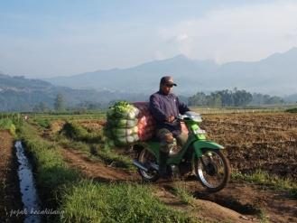 panen sayur di Pujon Kidul