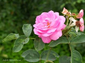 Mawar Bulgaria